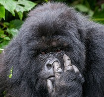 Juara Comedy Wildlife Photography: Hamster Ngebut & Gorila Ngupil