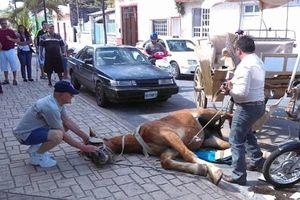 Dipaksa Kerja, Kuda Wisata di Meksiko Pingsan