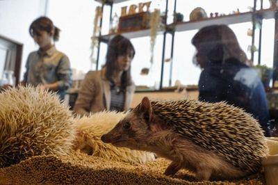 Aww, Lucunya Main Bareng Landak Mini di Kafe Jepang