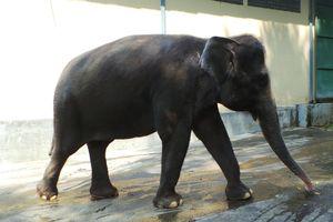 Begini Cara Menimbang Gajah di Taman Safari Prigen