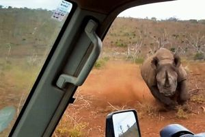 Badak Ngamuk Tabrak Mobil Turis di Afrika Selatan