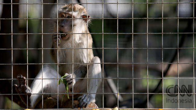 Polisi menyebut kelompok yang berencana melemparkan bom ketapel saat pelantikan, juga berniat melepaskan delapan ekor monyet saat pelantikan Jokowi-Ma'ruf.
