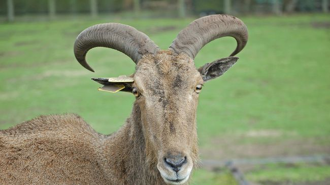 Testosteron atau hormon seks laki-laki yang banyak terkandung di testis dan kemaluan kambing jantan menjadi alasan di balik kepopuleran torpedo.