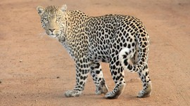 Polisi Sri Lanka Ringkus Pemburu Macan Tutul untuk Obat Asma