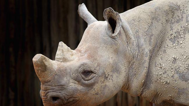 Penjaga Taman Nasional Kruger, Afrika Selatan, berjuang melindungi badak yang jumlahnya kian turun. Cula badak menjadi incaran karena harganya yang selangit.