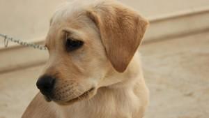 Seekor Anjing di AS Positif Covid-19 Usai Pemilik Terinfeksi