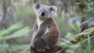 Imbas Kebakaran Hutan, Kini Koala Berstatus Terancam Punah