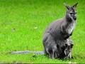 Pemerintah Australia Berencana Memusnahkan Jutaan Kanguru