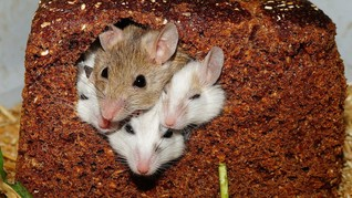 Magawa, Tikus Pembersih Ranjau Darat yang Dapat Medali Emas