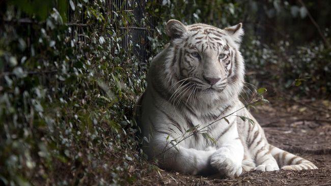 Mantan petinju asal Amerika Serikat, Mike Tyson, bercerita tentang macan peliharaannya pernah terkam tetangga.