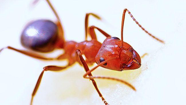 Ilmuwan menemukan semut yang mampu mengubah kerangkanya jadi zirah atau body armor memanfaatkan biomineral.