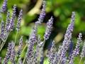 5 Obat Nyamuk Alami yang Aman untuk Pernapasan