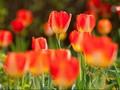 'Tinder' Akan Jadi Masa Depan Industri Bunga Belanda