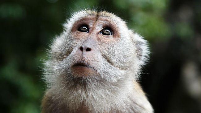Seorang dokter hewan di China meninggal dunia usai terinfeksi virus monkey B. Apa sebenarnya virus monkey b?