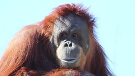 Orangutan Sumatera Melahirkan di Kebun Binatang AS