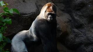 8 Gorila di Kebon Binatang AS Positif Virus Corona