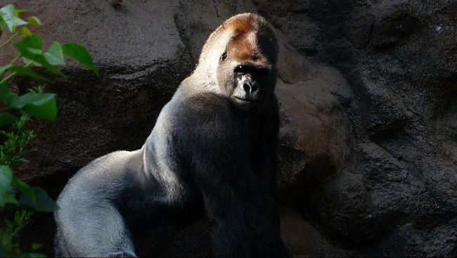 Sekitar delapan gorila di kebun binatang taman safari San Diego, Amerika Serikat diketahui positif terpapar virus corona.