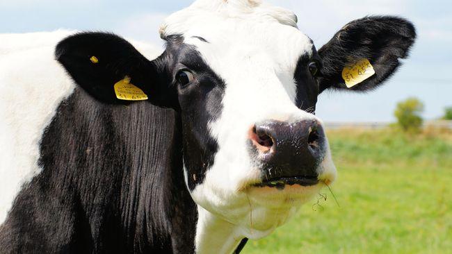Menyambut hari raya Natal, sapi-sapi perah di Jersey, Inggris, berpose dengan mengenakan jumper ungu cerah.