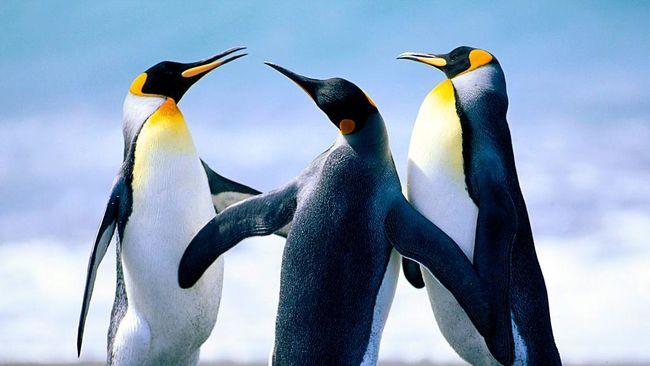 Menurut penelitian terbaru, penguin sekarang tak lagi bisa merasakan rasa pahit, manis dan umami.