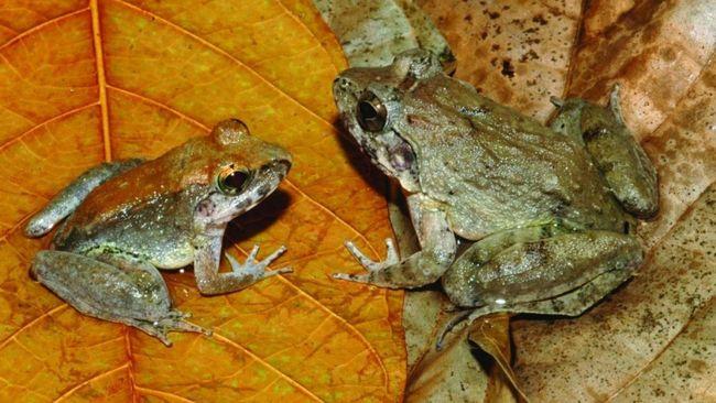 Sering kali katak dan kodok dianggap sebagai hewan yang sama, padahal nyatanya kedua hewan ini berbeda. Simak penjelasan beda katak dan kodok.