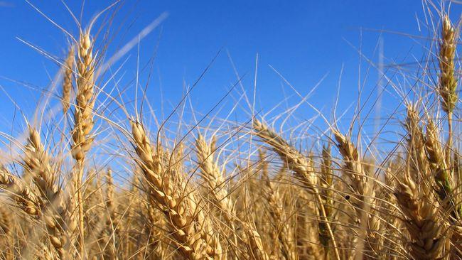 Rusia membatasi ekspor gandum sampai akhir Juni demi menjaga kebutuhan domestik di tengah wabah virus corona.
