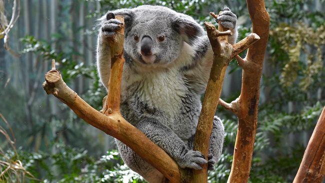 Petugas Australia menyuntik mati lusinan koala yang sekarat akibat kelaparan karena habitatnya dirambah.