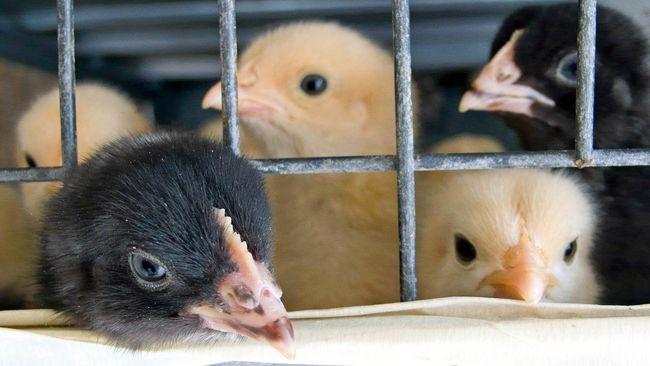 Kementan mengklaim sudah melakukan sejumlah tindakan untuk mengendalikan produksi bibit ayam demi menjaga stabilitas harga ayam potong di tingkat peternak.