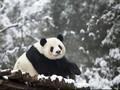 China Bangun Taman Nasional Khusus Panda