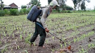 Petani Menjerit, Pupuk Subsidi Mulai Hilang di Pasaran