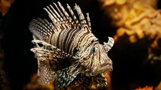 Mahasiswa UI Temukan Racun Duri Lionfish Jadi Obat Kanker