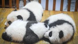 Diprotes soal Bayi Panda, Reality Show BLACKPINK Ditunda