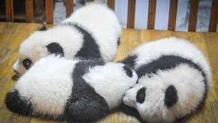 Kebun Binatang Washington Sambut Kelahiran Bayi Panda Raksasa