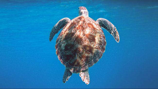 Jasad puluhan penyu itu ditemukan di sepanjang pantai kawasan Taman Wisata Alam (TWA) Tanjung Belimbing.