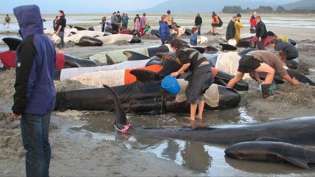 Ahli merespons banyaknya paus yang terdampar dan mati di wilayah Laut Sawu dan Pantai Sabu Raijua Nusa Tenggara Timur selama Juni 2020.
