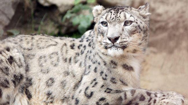 Populasi 'Kucing Hantu' Bertambah, Tapi Tetap Terancam Punah