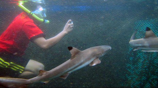 Hiu Karang Hitam dan Putih yang diberitakan mati di penangkaran di Karimunjawa adalah jenis hiu yang gemar bersosialisasi.