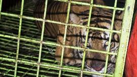 Pemburu Harimau di Riau DIbekuk Polisi, Empat Janin Disita