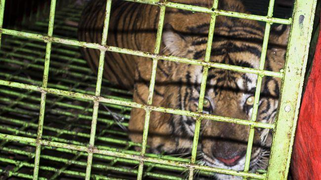 Dari hasil penangkapan pemburu harimau di Riau, Kepala Balai Penegakan Hukum KLHK wilayah Sumatra menyatakan ada empat janin harimau disimpan di toples.