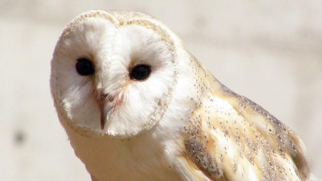 Burung Hantu Langka Terlihat Lagi Usai Seabad Menghilang