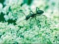 Semut Tercepat di Dunia, Semut Perak Sahara