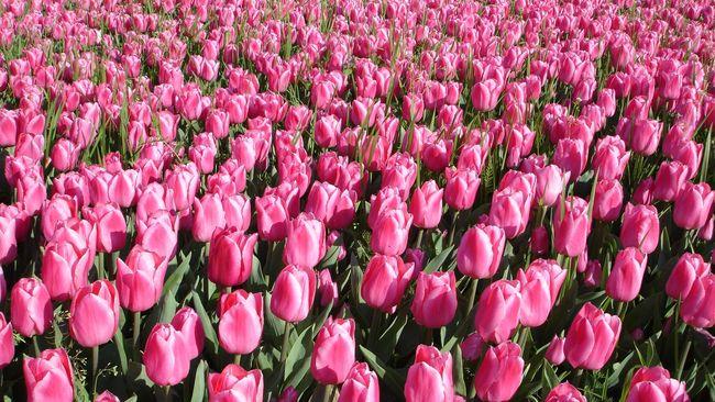 Asal Muasal Bunga Tulip Sebelum Hijrah Ke Belanda
