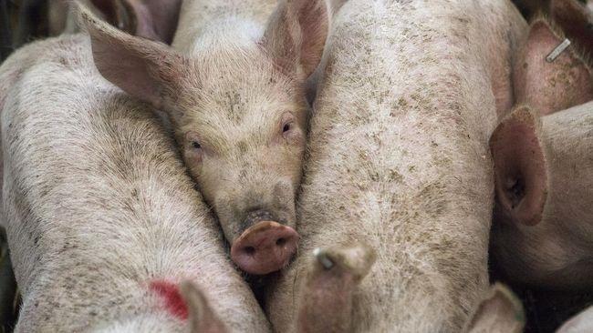 Pemprov Bali menggelar kampanye makan daging babi untuk memulihkan kepercayaan publik dan trauma akibat kematian ratusan ekor babi.
