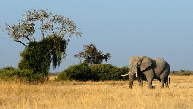 Gajah jinak bernama Yongki itu pernah tampil di video klip penyanyi Tulus. Beberapa hari lalu ia ditemukan mati dengan gading terpotong.