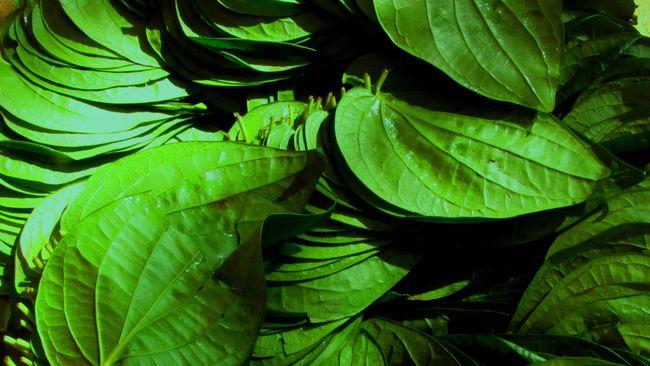 Manfaat daun sirih bukan hanya menyegarkan mulut atau membersihkan area kewanitaan, tapi kandungan vitaminnya berkhasiat untuk kesehatan.