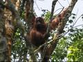 Rentan Kena Corona, Rehabilitasi Orangutan Ditutup