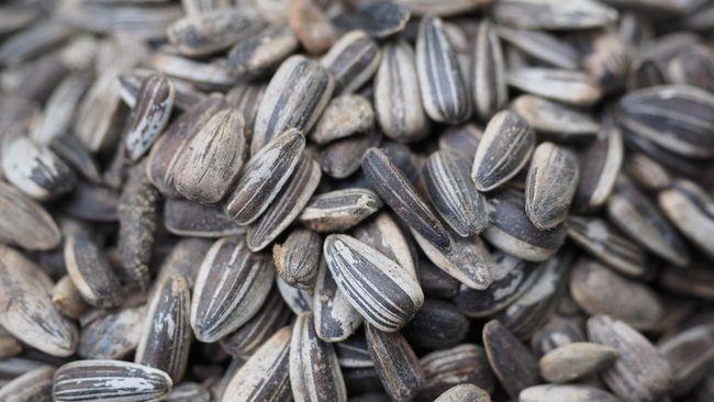 Usaha keras menikmati kuaci seimbang dengan beragam manfaat kesehatan yang dimiliki camilan biji bunga matahari.