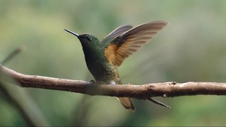 Cara Burung Kolibri Turunkan Suhu Tubuh di Musim Dingin