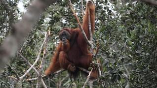 Ahli: PLTA Batang Toru Ancam Orangutan Tapanuli Hingga Punah