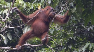 Taman Nasional yang Jadi Rumah Orangutan