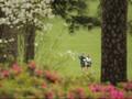 Lemon Pink dan Azalea di Klub Golf Nomor 1 di Amerika